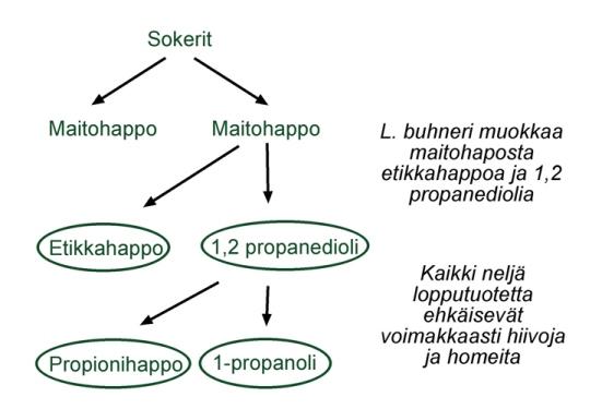 Kuva 1. Heterofermentatiivinen maitohappobakteeri L. Buchneri muodostaa rehuun loppukäymistuotteina propyleeniglykolia, 1-propanolia, propionihappoa ja etikkahappoa.