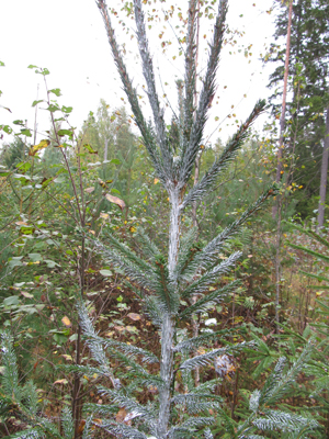 Kuivuttuaan taimen pintaan Trico- hirvikarkote antaa pitkäaikaisen tehon hirvieläinten tuhoja vastaan