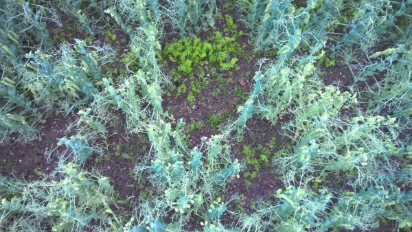 Harva hernekasvusto antoi kuminalle enemmän tilaa. Tiheissä kohdissa herne valtasi kuminalta kasvualaa.