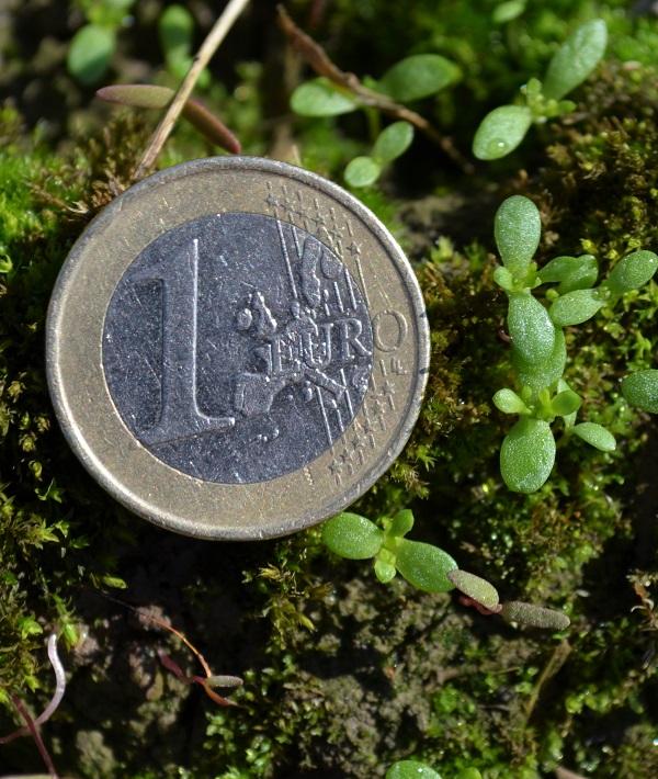Kuvassa sirkkalehtiasteella olevia saunakukan taimia, jotka ovat aloittamassa ensimmäisten lehtiparien kasvua. Näin pieniin taimiin Goltix WG tehoaa hyvin. Viimeinen torjuntahetki on, kun taimet ovat korkeintaan euron kokoisia.