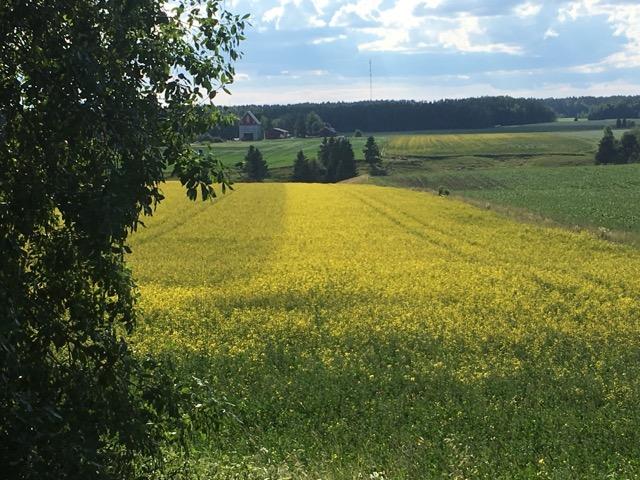 Ero kaksi kertaa käsitellyn pellon reuna-alueen ja kertaalleen käsitellyn keskiosan välillä on huomattava.