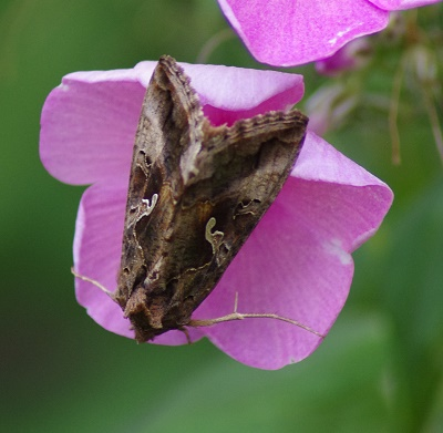 Aikuisia gammayökkösiä voi nähdä ruokailemassa kukkivilla kasveilla.