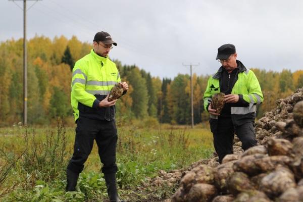 Erkki Suvitien tilalla juurikkaan nosto aloitettiin syyskuun viimeinen päivä. Sucros Oy:n viljelykonsulentti Petri Suvanto pitää Erkki Suvitien sokerijuurikasta hyvän kokoisena.