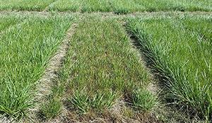 Ruokonadan jälkikasvu oli nurminataa parempaa Borealin nurmikokeessa Jokioisilla. Kuvassa keskellä nurminataruutu, reunoilla ruokonataa.