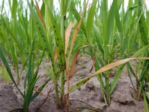 Kirvoja esiintyi paikoin runsaasti viljoissa viime kesänä.