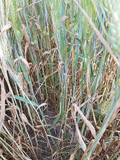 Rehuohraa, joka on käsitelty strobi+triatsoli-seoksella rikkatorjunnan yhteydessä. Kasvit ovat kärsineet pahoin sekä kuivuusstressistä että kasvitaudeista huolimatta aikaisesta tautitorjunnasta.