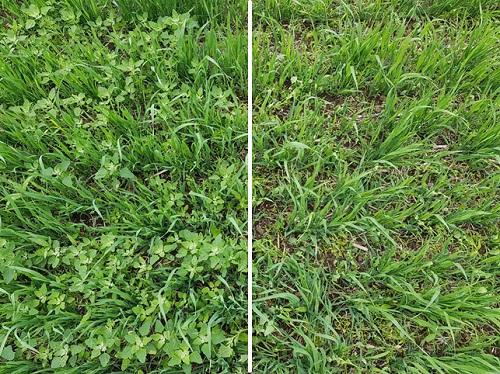 Kuvassa vasemmalla käsittelemätön ja oikealla Twist Combo 4 päivää ruiskutuksen jälkeen. Arylex-tehoaineen ansiosta teho näkyi pellolla nopeasti, matara oli jo kellastunut ja savikka kaatunut maahan.
