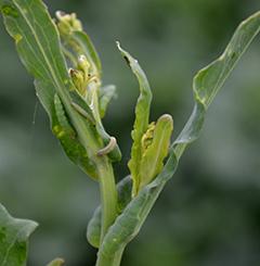 Kaalikoin toukkia syömässä kevätrapsia