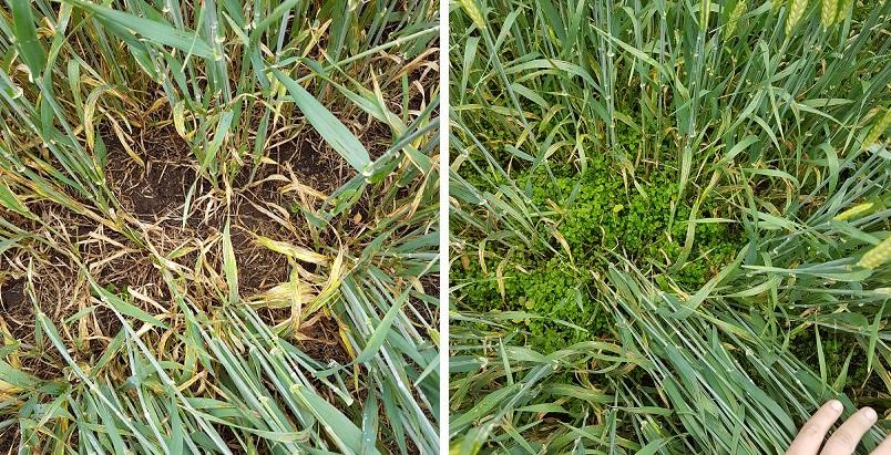 Resistenttiin pihätähtimöön ei saada lainkaan tehoa pelkällä gramma-aineella (oikealla), mutta kun seoksessa on mukana kestäviin kantoihin toimivaa tehoainetta, kuten fluroksipyyriä, myös resistentit rikkakasvit on saatu torjuttua hyvin (vasemmalla).