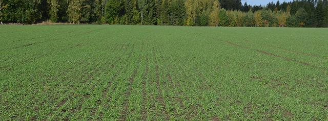 Tämä ruispelto on kylvetty 24. elokuuta. Rukiin ollessa tämänkokoista rikkakasvit ovat yleensä jo itäneet ja ruiskutusta ei kannata viivästyttää tästä eteenpäin. Kuva: Lasse Matikainen.