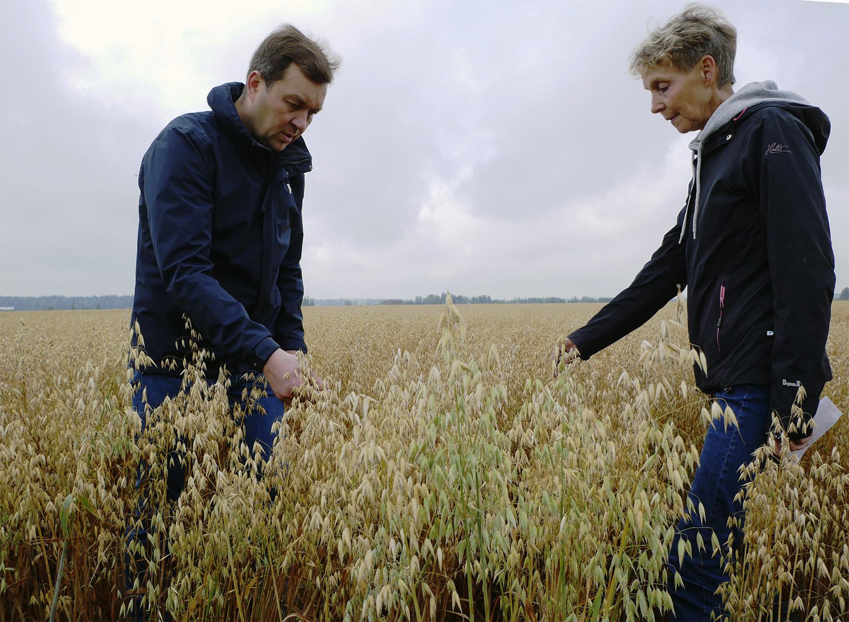 Kuivuudesta huolimatta Donna-kaura on saanut riittävästi kosteutta pensastumisvaiheessa, Tuomas Levomäki ja Leena Pietilä pohtivat.