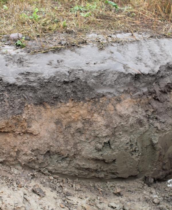 Kasvien juurimassasta suurin osa on savisessa pintakerroksessa. Sokerijuurikkaan juurien muodostamia kanavia näkyy myös seuraavassa hiekkaisemmassa kerroksessa. Syvimpänä on tiivistä ja kovaa savimaata.