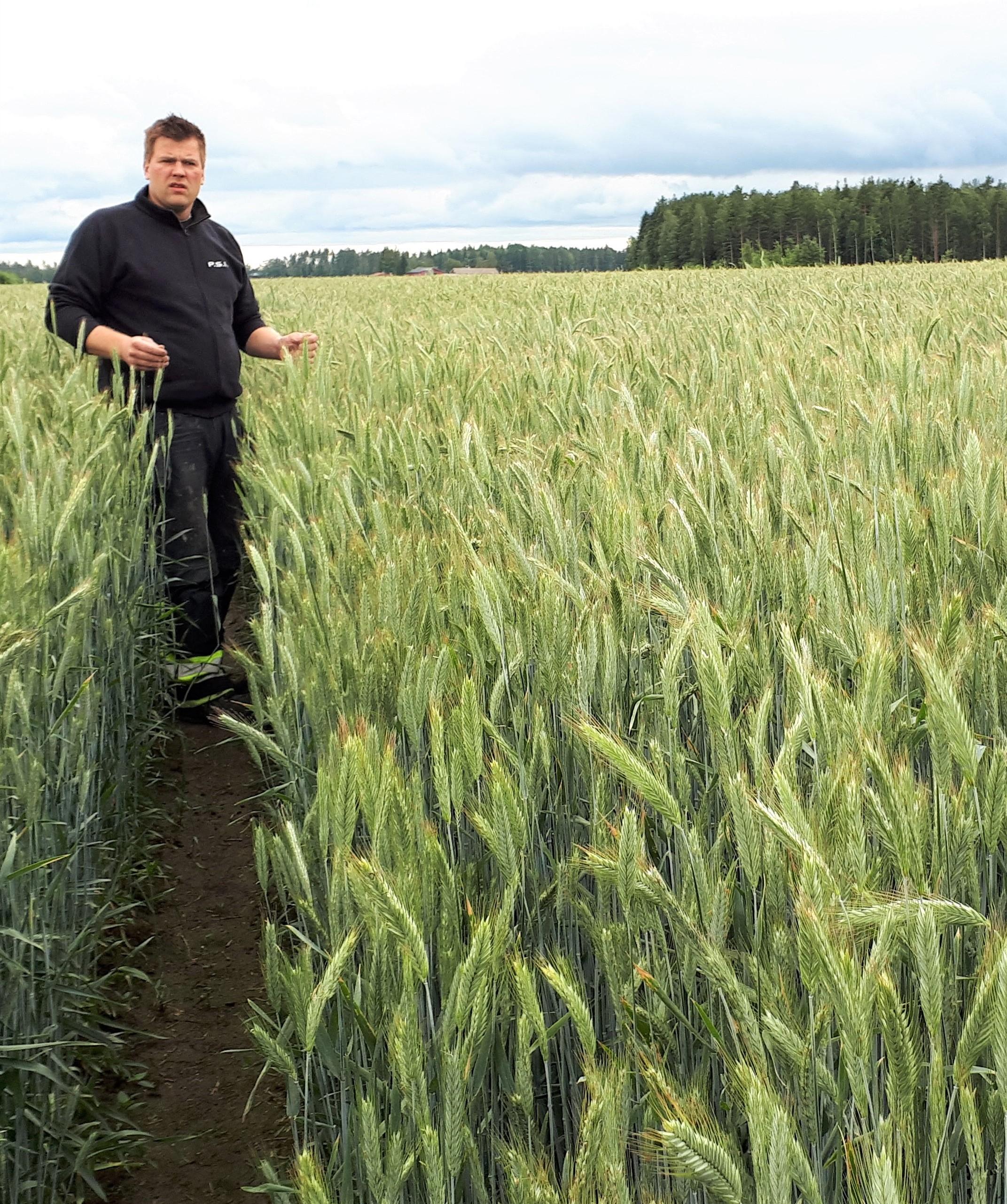 Kimmo Polon täydellinen ruiskasvusto heinäkuun alussa.  Ennätyssadon 10.633 kg/ha lisäksi myös laadut olivat hyviä: HL- paino  80,5 kg, Sakoluku  162, Rikat ja rikkajyvät 0,1 %, Kosteus 12,4.