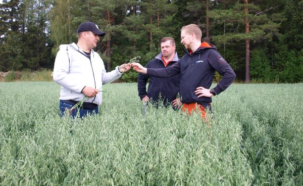 Pekka Kultti (vas) tutkii kauraa yhdessä Hankkijan Matti Jaatisen ja Cortevan Aki Niemelän kanssa.