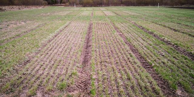 Lajikkeiden talvenkestävyyden testaaminen on keskeisessä roolissa nurmien lajikejalostuksessa. Kuva Sotkamon koeruuduilta keväältä 2019.