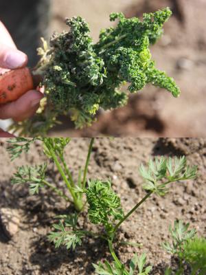 Porkkanakempin vioittamia porkkanalehtiä (suurenna klikkaamalla)