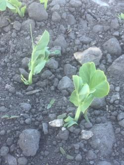 Kuvassa oleva herne ja rikkakasvit alkavat olla sopivan kokoisia ruiskutettavaksi. On tärkeää, että rikkakasvit eivät pääse liian isoksi ennen käsittelyä. (Kuva suurenee klikaamalla.)