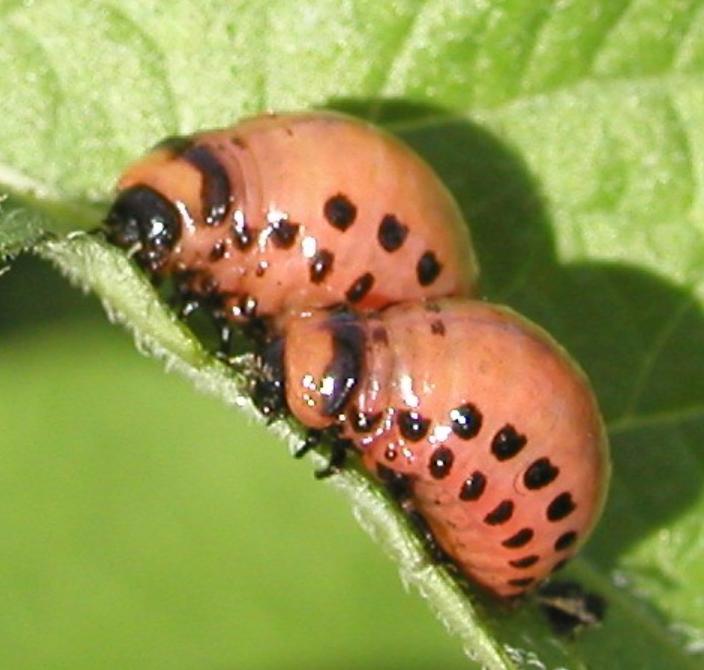 Koloradonkuoriaisen toukkia. Kuva: Evira