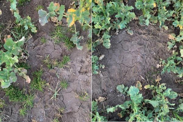 Vasemmalla käsittelemätön ja oikealla syksyllä Select Plus -käsitelty (0,7 l/ha) syysrapsi keväällä.