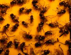 Kahukärpäsiä kelta-ansassa (Kuva: Erja Huusela-Veistola, Luke)