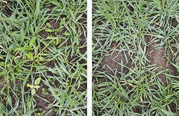 Ruiskuttamattomassa hybridirukiissa (kuva vasemmalla) oli paljon erilaisia rikkakasveja syksyllä 2019. Mateno Duo-käsitellyssä alassa rikkakasveja ei myöhemmin syksyllä juurikaan kasvanut.