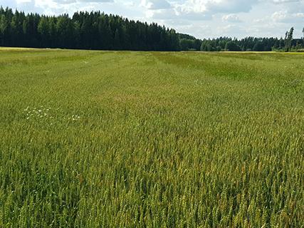 Monivuotisia, paljon ravinteita vieviä rikkakasveja esiintyy viljapelloilla. Kuva on otettu 20.8.2020.