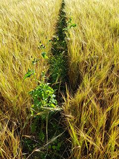 Hankalista rikkakasveista mm. valvattia on itänyt jälkikäteen viljapelloilla. Kuva on otettu 21.8.2020.