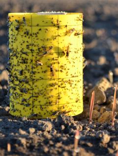 Kylvöstä viikossa on ruis tullut oraalle. Runsaan vuorokauden aikana liimapyydykseen on tarttunut monia hyönteisiä, myös kahukärpäsiä. Kuva Somerolta 28.8.2020.