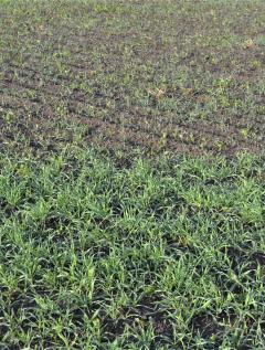 Viime vuonna tässä pellossa tehtiin kahukärpästorjunta rukiin 1,5 -lehtivaiheessa. Pieni ala jätettiin käsittelemättä, joka on kuvan yläreunassa. Kahukärpästen toukkien vioituksesta osa taimista kuoli. Kuva Somerolta 19.9.2019.
