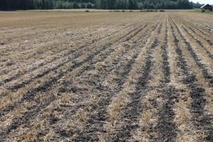 Kaistaviljelyssä pellossa vuorottelevat vaaksan levyiset muokatut ja muokkaamattomat olkipeitteiset kaistat pellon pinnassa.