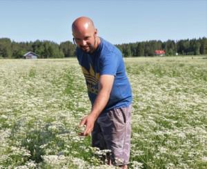 Mikko Niemen tilalla Jurvassa on ollut kuminaa jo vuodesta 2005 eli siitä lähtien, kun kuminan viljely alkoi yleistyä Suomessa. Hän on närpiöläisen Caraway Finland Oy:n sopimusviljelijä.