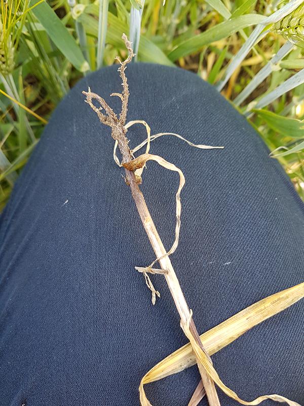 Maalevintäiset taudinaiheuttajat, kuten Fusarium-sienet, aiheuttavat viljoilla juuristo- ja tyvitauteja, jotka heikentävät talvehtimista.