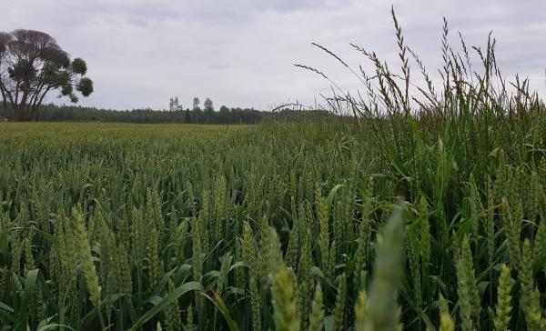 Kuvassa juolavehnä torjuttu kasvukaudella pyroksulaamivalmisteella viljelijän pellolla Etelä-Pohjanmaalla. Vasemmalla käsitelty ja oikealla käsittelemätön kohta pellosta.