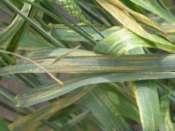 Keltaruosteen keltaisia ja lehden pituuden suuntaisia itiöryhmiä (Kuva: Marja Jalli)  (Suurenna kuva klikkaamalla)