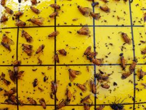 Rapsipistiäisiä poikkeuksellisen runsaasti kelta-ansassa (kuva: Erja Huusela) (Kuva suurenee klikkaamalla)