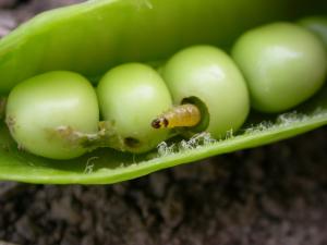 Hernekääriäisen toukka ja vioitusta (Kuva: Erja Huusela) (Kuva suurenee klikkaamalla.)