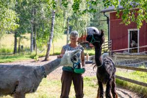 Peppi Laine sekä laamat Jingo (vaalea) ja Timotei (tumma). (Kuva: Arttu Timonen / WWF)