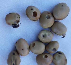 Härkäpapupiilokkaan vioittamia siemeniä (Kuva: Erja Huusela) (Kuva suurenee klikkaamalla.)