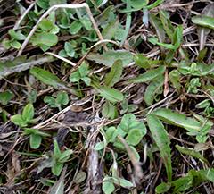 Apilapitoisella nurmella rikkatorjunta tulee tehdä Gratil- valmisteella. Käsittely vioittaa apilaa ja sitä myös voi tuhoutua, mutta seuraavilla niittokerroilla päästään korjaamaan jo hyvää apilasatoa.