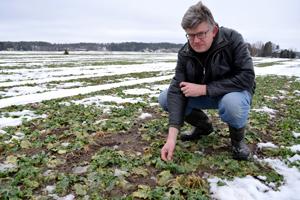 Vampulassa Ilkka Kouvon tilalla syysrapsi oli vapautunut lumipeitteesta hyvin talvehtineena 27.2.2015.