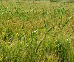 Tehoa juolavehnän juurakkoon saadaan vasta kun siihen on muodostunut uusia valkoisia juurenpätkiä. Tästä johtuen keväällä ennen kylvöä tehty glyfosaattiruiskutus ei pääse vaikuttamaan juolavehnän juuristoon.