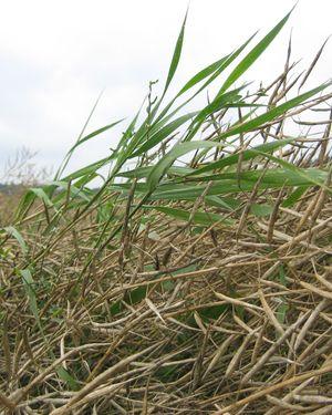 Juolavehnä, matara ja pillike kasvavat usein kasvuston päälle, kun kasvusto tuleentuessaan hieman lakoontuu