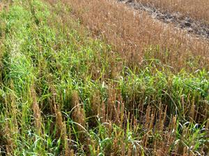 Sänkitorjunnassa tulee juolavehnässä olla vähintään 3 vihreätä ja hyvässä kasvussa olevaa lehteä.