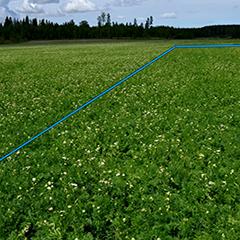 Kuvassa sinisen viivan oikealla puolella on ruiskutettu 6.6.2015 havaintokaista Mirador, Proline, Zoom ja Mavrik valmisteilla. Kuva kasvustosta 8.6. Käsitellyllä kaistalla on kukintaan tullut pientä viivettä, joka johtuu tautiaineiden kasvunsäädevaikutuksesta.