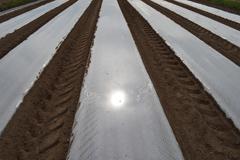 Maissin siemenet kylvettynä suojakalvon alle. Yhden kalvon alle kylvetään kaksi maissiriviä