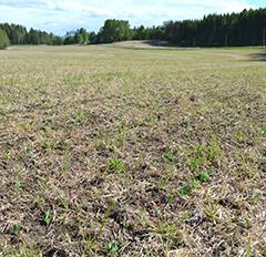 Kuva suoraan nurmeen kylvetystä hernepellosta 8.6. eli 19 päivää kylvön jälkeen. Hernerivit näkyvissä, mutta myös heinä on alkanut uudelleen kasvaa.