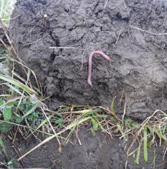 Nurmikierrossa tiivistynytkin savimaa murustuu hyvään kasvukuntoon.Kuvat Somerolta lokakuun viimeisenä päivänä 2015.