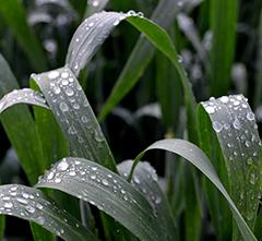 Usean päivän sadeputkessa kasvustojen olleessa koko aika kosteina taudit muhivat ja runsastuvat