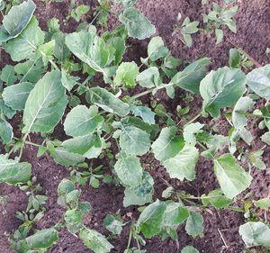 Oheisessa kuvassa mm. paljon jauhosavikan taimia