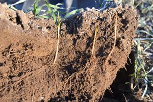 Runsaan 5 asteen yöpakkasessa on kostea kivennäismaa jäänyt yön aikana 3 cm. Syysvehnä on kylvetty 6 cm syvyyteen. Rouste ei pysty katkomaan kasvin juuristoa.